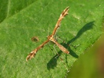 Oxyptilus pilosellae